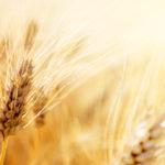 4:15grainsofwheat